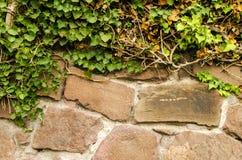 常春藤和石墙 免版税库存照片