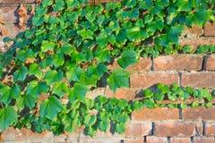 常春藤在一个砖墙上增长在斯克内克塔迪, NY 库存照片