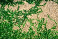 常春藤在墙壁,在墙壁上的爬行植物离开 免版税图库摄影