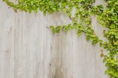 常春藤在板条木头墙壁上的叶子框架 免版税库存图片