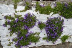 常春藤在爱尔兰 库存照片