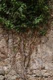 常春藤在石墙上增长 免版税库存图片