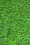 常春藤垂直墙壁 库存图片