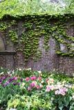 常春藤墙壁庭院 免版税库存照片
