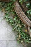 常春藤墙壁 库存照片