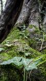常春藤增长的树在森林里 库存照片