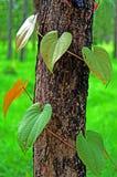 常春藤或杂草在树 库存图片