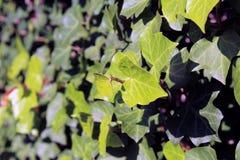 常春藤掩盖墙壁关闭的常春藤属螺旋植物 库存照片
