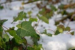 常春藤枝杈和叶子在雪 库存照片
