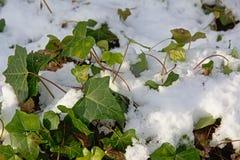 常春藤枝杈和叶子在雪 图库摄影