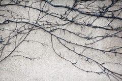 常春藤植物干燥树干和分支没有叶子的在老墙壁上 库存照片