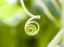 常春藤植物的卷曲样式 库存照片