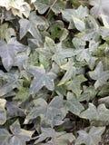 常春藤植物自然 免版税库存照片