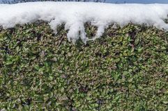 常春藤用雪盖的墙壁篱芭在冬天季节性冷的早晨 库存照片