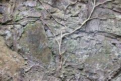 常春藤的枝杈在一个石墙上的 图库摄影