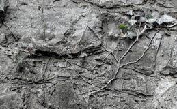 常春藤的枝杈在一个石墙上的 免版税库存图片