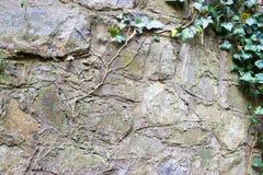常春藤的枝杈在一个石墙上的 免版税图库摄影