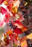 常春藤离开在秋天季节的几周期间,并且种子转动了红色,常春藤属螺旋,英国常春藤看法的关闭, 免版税库存照片