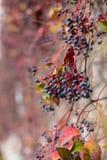 常春藤离开在秋天季节的几周期间,并且种子转动了红色,常春藤属螺旋,英国常春藤看法的关闭  库存照片