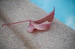 常春藤秋季红色叶子在一个游泳池附近的在ga 免版税库存图片