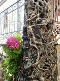 常春藤穿的树和八仙花属开花,一干燥一个活 免版税图库摄影