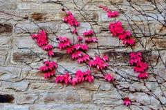 常春藤红色叶子在石墙上的 库存照片