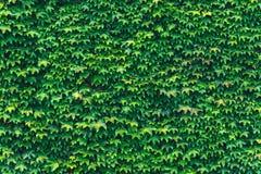 常春藤纹理留下特写镜头 绿色墙壁 库存照片