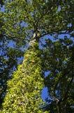 常春藤结构树 免版税库存图片