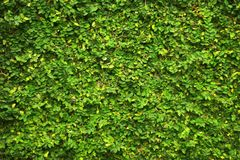 常春藤绿色叶子盖了墙壁 自然树篱芭背景设计书刊上的图片的 免版税库存图片