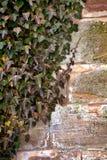 常春藤老墙壁 库存图片