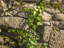 常春藤自然纹理在一个石墙上的 免版税图库摄影