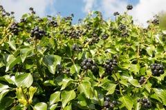 常春藤莓果 库存图片
