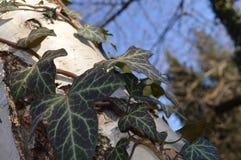 常春藤蠕动细节在桦树的 免版税库存图片