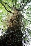 常春藤遮盖着的白杨树树干和分支 图库摄影
