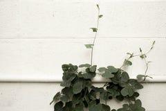 常春藤金瓜在白色混凝土墙, Coccinia grandis上滑行 免版税库存照片