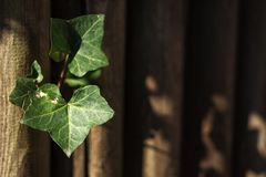 常春藤金瓜, Coccinia grandis绿色在木墙壁离开与侧灯和领域浅dept  免版税图库摄影