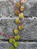 常春藤陈列在砖背景的秋天颜色 免版税库存照片
