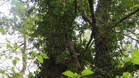 常春藤Gort上升的橡木Duir 免版税图库摄影