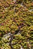 常春藤greenand红色叶子盖的墙壁  库存图片