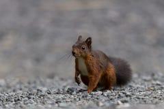 寻常欧亚红色中型松鼠的灰鼠 免版税库存照片