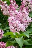寻常特写镜头花绿色叶子淡紫色的紫丁香属植物 库存照片