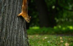 寻常的中型松鼠的红色squirell关闭 免版税库存照片