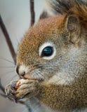 寻常的中型松鼠 免版税库存照片