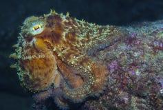 寻常的章鱼 免版税库存图片