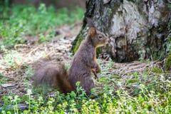 寻常红松鼠的中型松鼠 免版税图库摄影