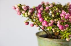 常绿植物细节,用桃红色莓果,在罐的安排圣诞节的 库存图片