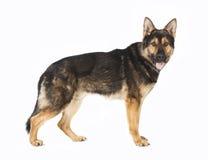 常设德国牧羊犬狗 免版税库存照片