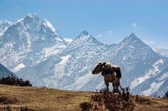 常设母牛和山在喜马拉雅山 库存图片