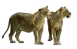 常设母狮子(豹属利奥) 免版税图库摄影