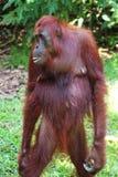 常设母猩猩在婆罗洲森林里 免版税库存照片